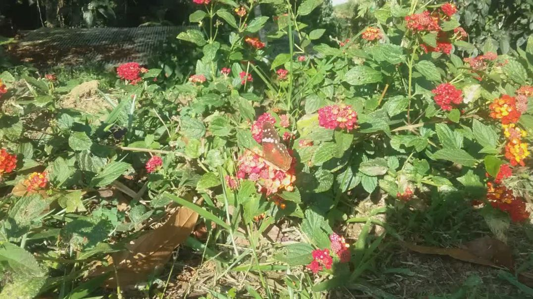 Butterfly over a lantana horrida flowers