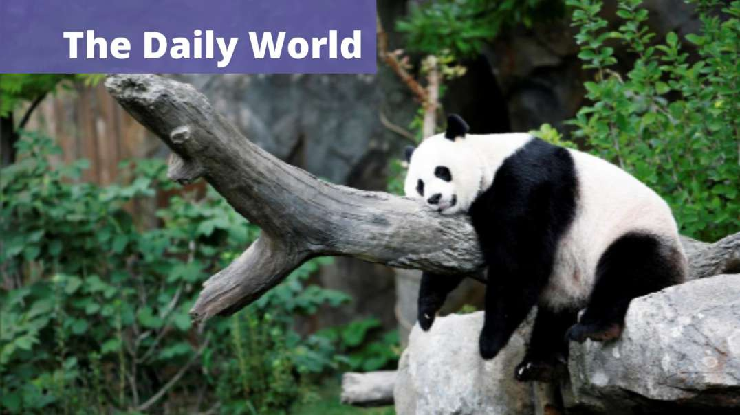 Giant Panda Gives Birth to Healthy Cub