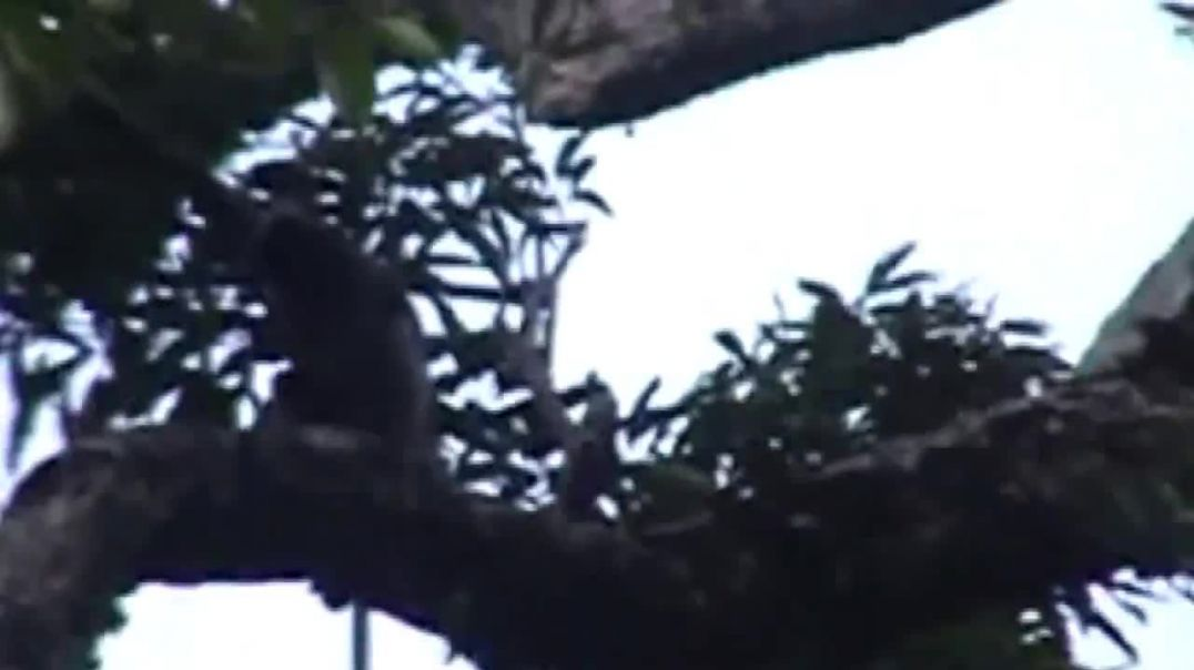 Rare Footage...Dusky leaf monkey In natural forests