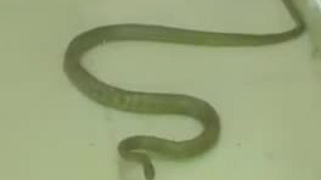 Cobra  in Atm Machine