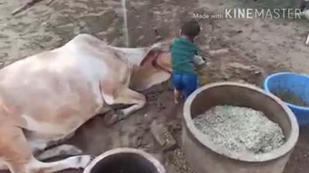 Cow & boy Love
