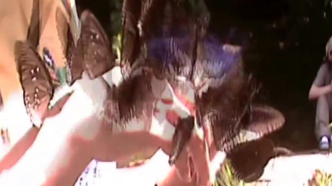 funny butterfly videos- butterfly attack